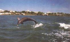 Snug Harbor Dolphin Image